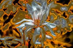 Oro y Plata (seguicollar) Tags: flower flor flores magnolia naranja plata color plantas vegetal imagencreativa photomanipulación art arte artecreativo artedigital virginiaseguí