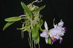 Cattleya lueddemanniana coerulea (Encyclia83) Tags: cattleya lueddemanniana coerulea orchid