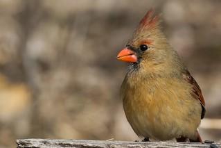 Cardinal / Northern Cardinal.