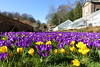 Conservatory flower bed (Sparky the Neon Cat) Tags: europe united kingdom uk great britain gb england northumberland wallington walled garden crocus purple ruby giant flower yellow aconite conservatory bed
