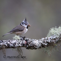 Crested Tit-3 (maxwell law photography) Tags: crestedtit scottishwildlife breedingbirds caledonianforest birdsasart birdsuk