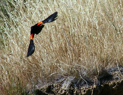Red bars (TJ Gehling) Tags: bird flight blackbird birdinflight redwingedblackbird agelaiusphoeniceus agelaius birdflight baxtercreek richmondca richmondshoreline