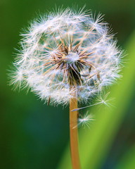 Blowball (tloehndorf) Tags: flowers plants macro canon dandelion pusteblume blowball