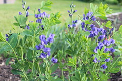 Lupine Plants (marylea) Tags: flowers blue garden spring lupine 2013 jun1
