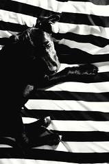 Polinomio (Nicole Sofa) Tags: dog white black contrast puppy stripes sleepy