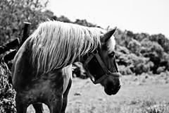 summer flies (Jen MacNeill) Tags: blackandwhite bw horse fly flies belgian equine draft workhorse amishfarm jennifermacneilltraylor jmacneilltraylor jennifermacneill jennifermacneillphotography