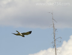 "Northern Harrier • <a style=""font-size:0.8em;"" href=""http://www.flickr.com/photos/63501323@N07/9132377760/"" target=""_blank"">View on Flickr</a>"