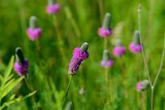 Prairie purple clover [7974] (cl.lin) Tags: nature nikon midwest sigma iowa mississippiriver prairie clover wildflower nikond600 lockanddam14 ld14