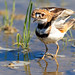Killdeer_65K7375_4x6_CRC
