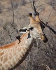 Giraffe (F14 FireFly) Tags: nature reserve giraffe groenkloof