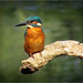 "Kingfisher 2 • <a style=""font-size:0.8em;"" href=""http://www.flickr.com/photos/81250586@N03/9607440393/"" target=""_blank"">View on Flickr</a>"