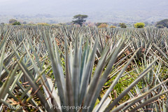 Guadalajara-Tequila-2013-LR-4567 (alison.toon) Tags: blue copyright leaves landscape mexico scenery farm harvest guadalajara jalisco tequila rows plantation growing agave technique pruning josecuervo cuervo tequilatour alisontoon alisontooncom alisontoonphotographer