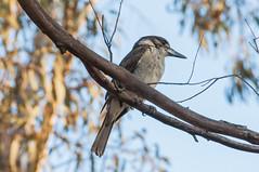 Craticus torquatus (Grey Butcherbird) (Bumble BC) Tags: birds animals australia aves canberra act australiancapitalterritory greybutcherbird mulligansflat craticustorquatus southerntablelandgrassywoodland