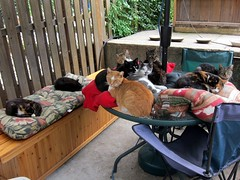 The backyard crew (Jimmy Legs) Tags: street cats tnr bushwick colony feral