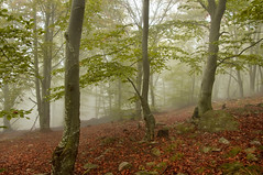 beech forest in autumn (Serena Marzo) Tags: wood autumn trees mist fall leaves fog forest beech beeches flickrandroidapp:filter=none