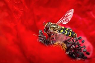 Hoverfly in poppyland