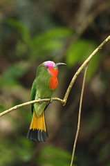 Red Bearded Bee-eater, Borneo (Daniel Trim) Tags: red bird nature photography photo rainforest wildlife reserve conservation lodge bee valley malaysia borneo sabah eater danum beeeater beared nyctyornis amictus redbearded