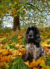 Amongst the Fallen Leaves (Photo Gal 2009) Tags: blue autumn england dog fall leaves otis canine autumnleaves autumncolours spaniel cocker cockerspaniel autumnal roan dogwalk englishcocker fallenleaves yellowleaves ashtoncourt blueroan orangeleaves englishcockerspaniel 2013 ashtoncourtbristol ashtoncourtmansion ashtoncourtestate blackandwhitecockerspaniel blueroancockerspaniel autumnengland bristolgreenspace cockerboy showcocker fall2013 2013autumn bristolcitycouncilpark showtypecocker englishshowcocker fall2013england ashtoncourt2013