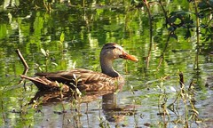 Florida Mottled Duck (Female) (Gary Helm) Tags: bird nature water birds female canon outside duck florida wildlife waterfowl mottled centralflorida polkcounty circlebbarreserve wadingbirdwaytrail