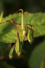 Impatiens (gripspix (catching up slowly)) Tags: nature natur seeds fluss neckar impatiens samen riber amneckar 20131026 blasamie