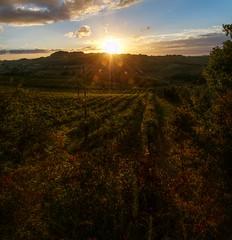 The Light (Elliott Bignell) Tags: italien light sunset italy backlight vines italia sonnenuntergang tuscany grapes toscana wein weinberg toskana montespertoli