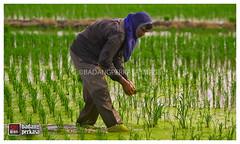 IMG_6861 (badangperkasa) Tags: paddy paddyfield sawah bendang sawahpadi tanjungkarang badang pesawah badangperkasa