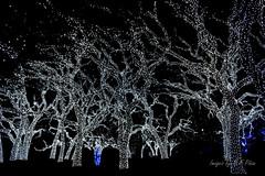 Johnson City PEC oak grove (MFPinon) Tags: tree landscape lights christmastree christmaslights led holidaylights johnsoncity treelights