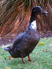 Ducks - Western Springs 7 Jan 2014 (SKR_Photography) Tags: newzealand summer green grass duck ducks lakeside auckland nz land downunder westernsprings 2014 landofthelongwhitecloud manmadepark summer2014