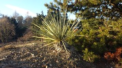 Yucca Plant Outdoor Succulent Outdoor Yucca