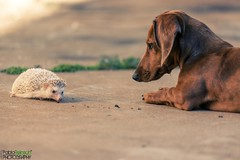 Conversacion silenciosa. (Pablin79) Tags: dog pet animal digital canon eos reflex dof talk 5d hedgehog dackel django daschund erizo teckel markii erinaceinae canoneos5dmarkii 5dmkii pabloreinschphotography