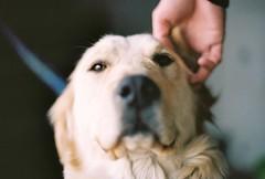 friendly golden (ulanalee) Tags: dog film goldenretriever 35mm minolta kodak minoltax700 southkorea paju portra400 kodakportra400  heyriartvillage heyriartvalley