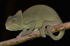 Yemen Chameleon (ukmjk) Tags: macro nikon reptile flash lizard yemen 105 nikkor captive chameleon vr cokin d600