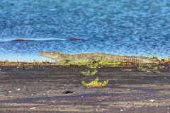 Crocodile (58) - Belize 2014 - Turneffe Atoll - Blackbird Caye (mastrfshrmn) Tags: ocean life sea beach colors birds animals canon island photo sand scenery paradise belize wildlife picture photograph tropical crabs creatures hdr reptiles centralamerica atoll 70d turneffeisland turneffeatoll blackbirdcaye