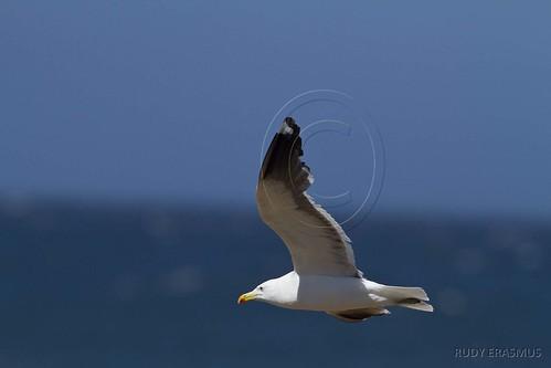 Kelp Gull_0574