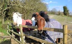 Ponies (R~P~M) Tags: uk greatbritain england horse unitedkingdom pony tring equestrian hertfordshire herts