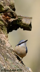 Nuthatch (Andy Pandy Pooh) Tags: tree bird log nikon sigma cannock chase nuthatch d800 rugeley staffs 150500