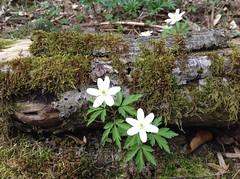 Spaziergang am Steinbach (mshhinterland) Tags: anemone windrschen nemorosa