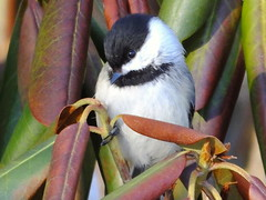 Black-capped Chickadee (RonG58) Tags: pictures new trip travel winter light usa color bird nature birds fauna geotagged photography us photo flora day image photos live wildlife wayne birding maine picture images photograph chickadee rhododendron digitalcamera migration tori exploration habitat blackcappedchickadee photooftheday picoftheday waynemaine poecileatricapillus birdwalk passerines loiseau fugifilm natureexploration elpájaro dervogel rong58 finepixhs50exr