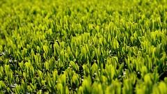 Nahaufnahme (cha.shifu) Tags: tee xiang direkt kaufen getränk günstig entspannung erfrischung gesund spezialität getraenk grüntee gruentee chashifu