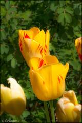 Creative Tulips (Gary P Kurns Photography) Tags: macro oklahoma closeup spring nikon events places tulip myriadgardens flowersplants 105macro nikon7100