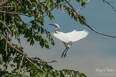 An adult Snowy Egret comes in for a landing at the rookery