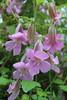 """Rehmannia elata - Botanischer Garten Berlin • <a style=""""font-size:0.8em;"""" href=""""http://www.flickr.com/photos/25397586@N00/19145320044/"""" target=""""_blank"""">View on Flickr</a>"""