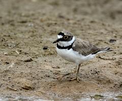 Pluvier Siffleur (Bruno ArtPhoto) Tags: bird pluvier siffleur