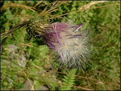 Cardo pronto a distribuire i semi (ninin 50) Tags: nature fiori monti cardo ninin