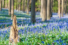 Mystical wild bluebells carpet (Mike Y. Gyver ( Organize in Albums)) Tags: bluebells bluebell hyacint blue nikon nikkor18105 d90 dof dephtoffield dream flower flowers floraison blossom bark stump brussels bruxelles hallerbos nature natural backtonature randonnée trail hike wonder mystic art arbre europe tree myg image imagination outdoor paysage peace green mood colors ngc