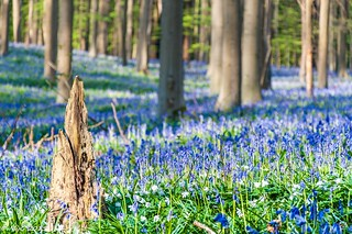 Mystical wild bluebells carpet