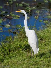 Great Egret (larryyorknh) Tags: birds floridakeys