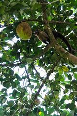 Pizote and jackfruit (sansan487) Tags: jackfruit pizote animal eating fun happy fruit costa rica