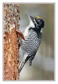 _MG_4100-DL-   Pic à dos rayé (mâle) / American Three-Toed Woodpecker (male)
