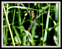 2016 (postman.pete) Tags: willow emerald damselfly lestes chalcolestes viridis male canon hwcp wicked weasel wickedweaselflickr
